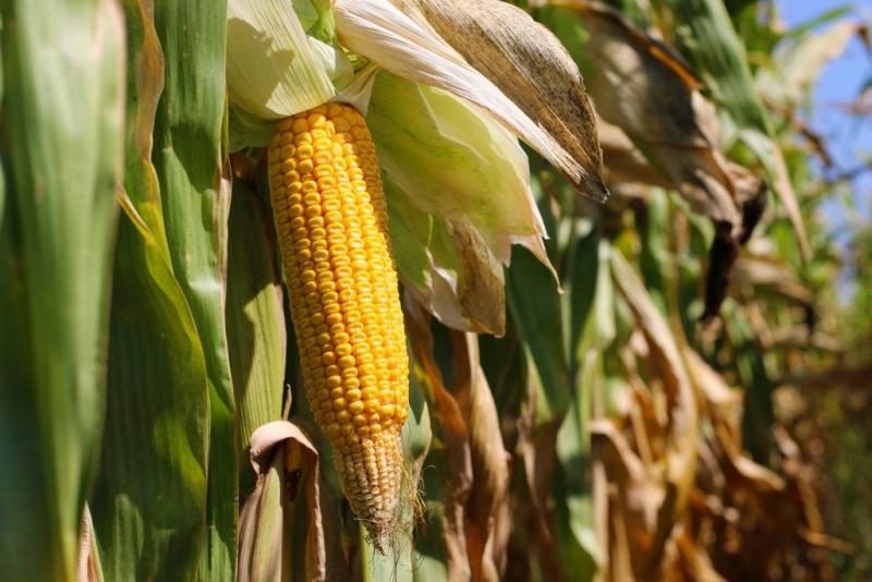 Prognoze slabe pentru producția de porumb din acest an